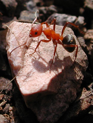Formica rufa Рыжий лесной муравей